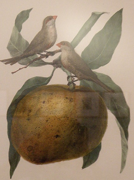 mangue auguste